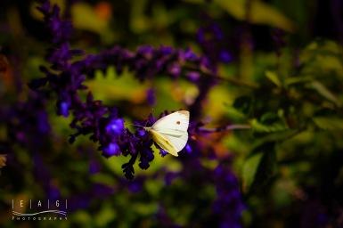 Buuterfly Sharp Purple
